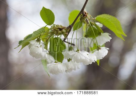 Blooming chinese apple branch with white flowers and green leaves. crabapple tree, Malus prunifolia fruit tree closeup, Soft focus background photo