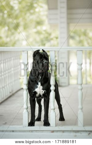 Cane Corso On The Porch Of The House