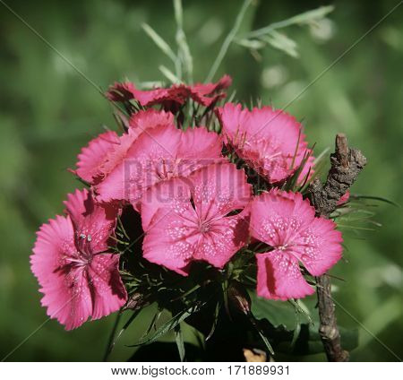 Pink Flowers Of Garden Carnations Close Up