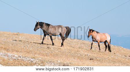 Grullo Stallion And Cinnamon Red Roan Mare Climbing Sykes Ridge In The Pryor Mountain Wild Horse Ran