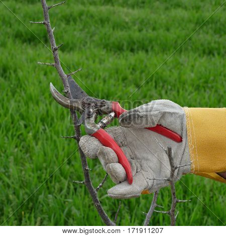 Pruning tree in orchard closeup of hand and tool