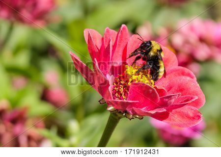 A bumblebee licking pollen off its legs on a beautiful zinnia flower
