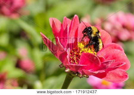 A bumblebee licking pollen off its legs with its proboscis on a red zinnia flower