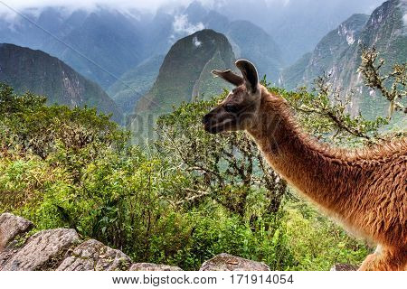 Llamas at Machu Picchu, lost city of the Incas, designated Peruvian Historical Sanctuary in 1981 and UNESCO World Heritage Site in 1983 and one of the New Seven Wonders of the World