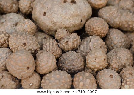 Thai herb name air potato (Scientific name Dioscorea bulbifera)