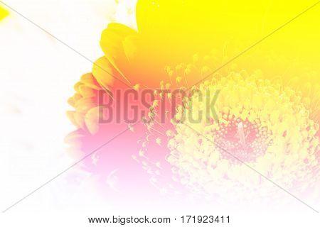 Close up orange gerbera flower with color filter
