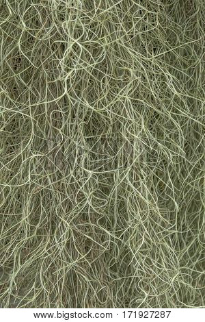 The texture is Tillandsia usneoides a background