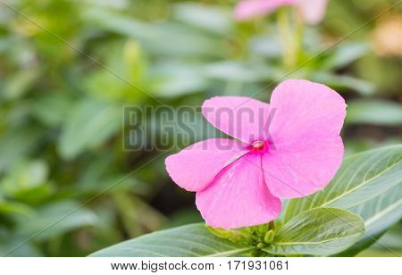 The beautiful pink vinca flowers (madagascar periwinkle)