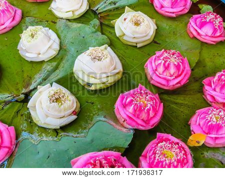 Lotus flowers in stone bowl. Home pond in thai garden