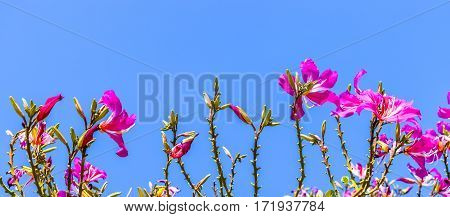 Phanera purpurea is a species of flowering plant in the family Fabaceae native to South China and Southeast Asia.