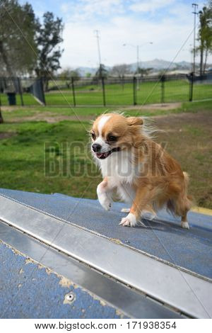 A Chihuahua dog strains to cover the last bit of a ramp he is running up