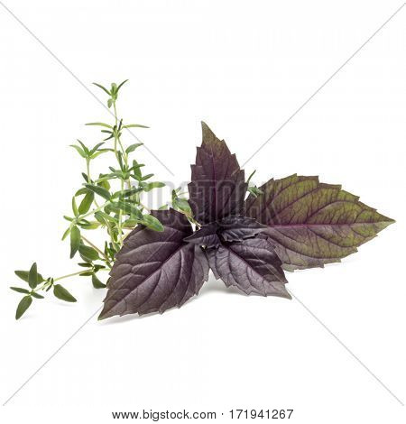 Close up studio shot of fresh red basil and thyme herb leaves isolated on white background. Purple Dark Opal Basil.