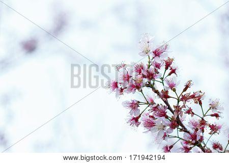 close up pink flower blossom Prunus cerasoides (Sakura Thailand) on white background