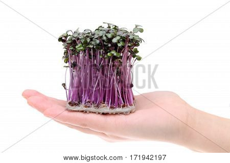 Growing salad mustard cress on the palm isolated on white background