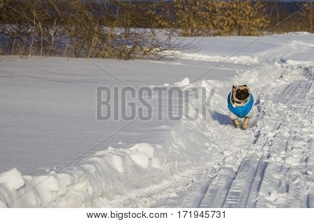 Dog Running On Snow-covered Road In Winter.