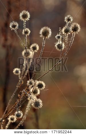 Thistle seed in the backlit at autumn