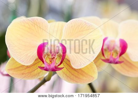 Yellow phalaenopsis orchid flower  in a garden