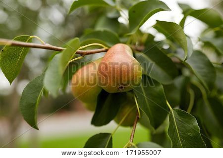 nature, botany, gardening and flora concept - close up of pear tree branch