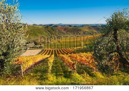 Colorful Vineyard with orange Leaves in fall (autum)