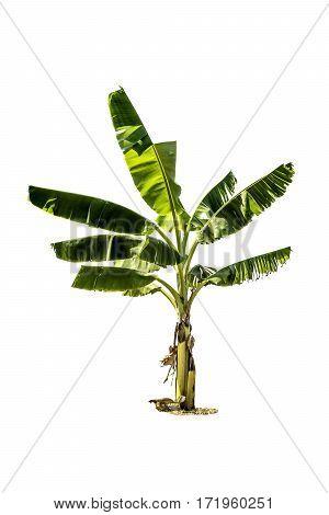 Tree (banana Tree) Isolated On White Background