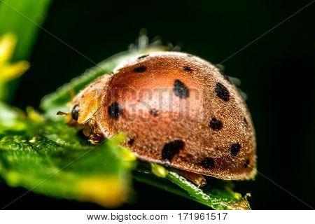 Macro Of Bug Insect (ladybug)