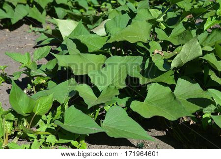 Growing organic sweet potato. The sweet potato or kumara (Ipomoea batatas) is a dicotyledonous plant that belongs to the family Convolvulaceae. Vegan Food.