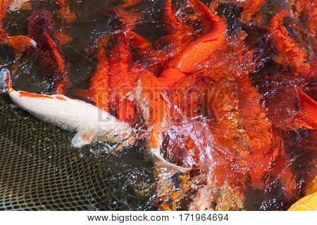 A flock of Japanese carp in a fishing net. Fish farms.