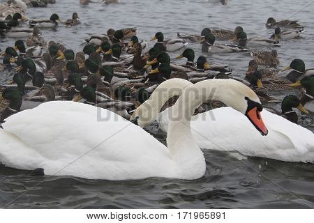 swans in the pond in winter seazon