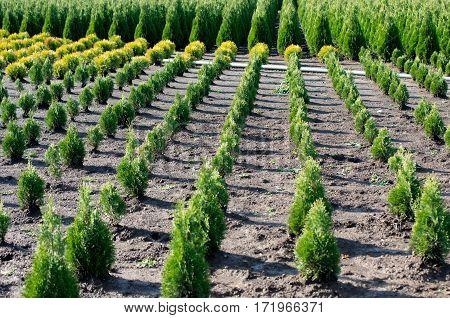 Thuja occidentalis in garden center. Plant nursery.