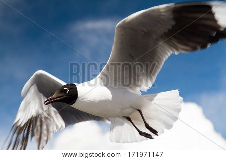 Close up of a flying Andean Gull Bolivia