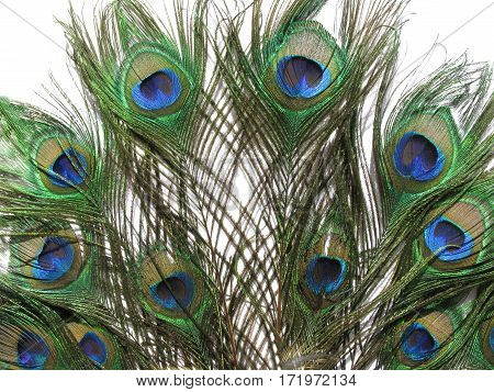 bright peacock feathers isolated on white background