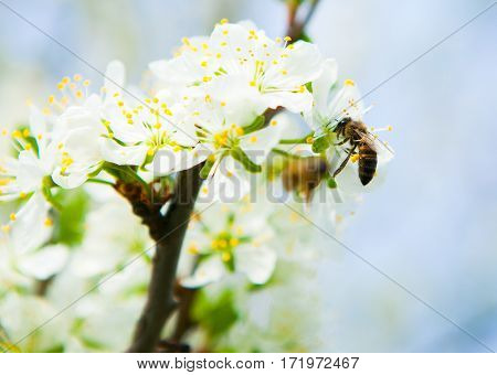 The Bee Collects Nectar From Flowers Cherry Plum. Flowering Cherry Plum In Fruit Orchard.