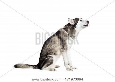 Alaskan Malamute sitting sideways, isolated on white. Beautiful dog