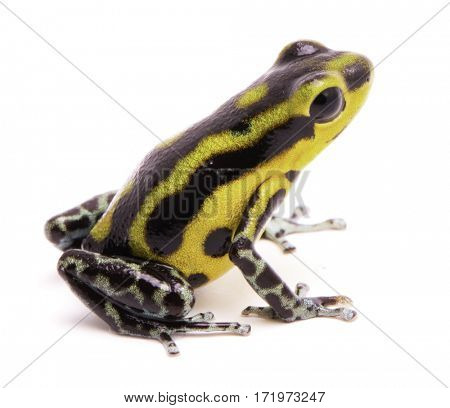 Poison dart frog, an amphibian with vibrant yellow.Tropical poisonous rain forest animal, Oophaga pumilio isolated on a white background.