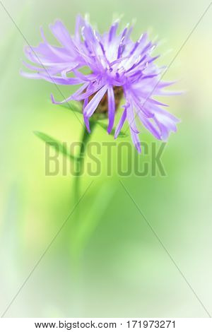 Brown knapweed spring wild flower, Centaurea jacea, an abstract and floral minimalism of a meadow wildflower.