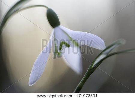 snow drops early spring white wild flower, Galanthus nivalis. Wildflowers phantasy