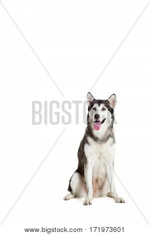 Alaskan Malamute sitting in front of white background. Dog sitting and looking at the camera