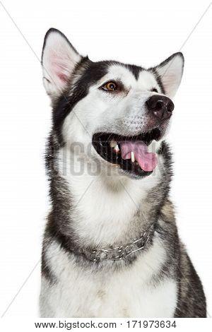 Portrait Alaskan Malamute, isolated on white. Close-up. Beautiful dog