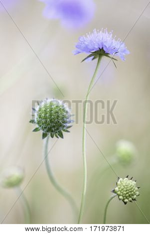 Flower dance of summer wildflowers in the meadow. Soft floral of blue wild flowers between the golden grass. Sheep's bit scabious, Jasione montana