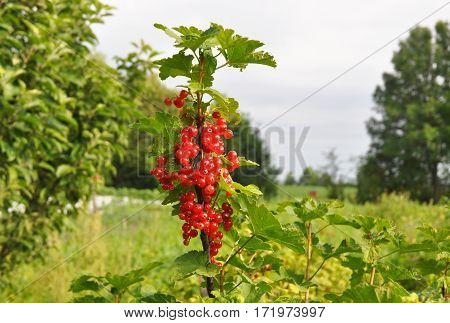 The redcurrant or red currant (Ribes rubrum) with leaves on branch