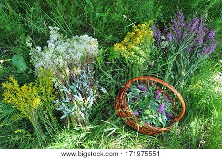 Gather Herbs. Herbal Plants. Hypericum perforatum yellow bedstraw St John's wort Galium verum Red Clowers Filipendula ulmaria meadowsweet is commonly used to make a sweet-tasting herbal tea.