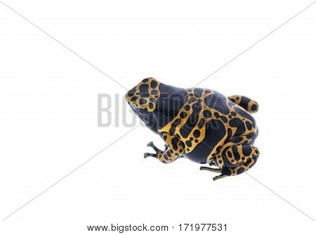 Yellow and black poison dart frog isolated at a white background
