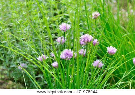 close on chives blooming in  vegetable garden