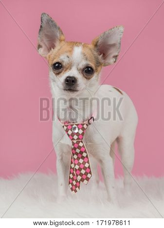 Chihuahua dog wearing a pink tie with pink background