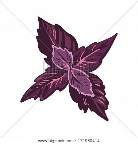 Red basil leaves realistic vector illustration. Basilicum, great basil culinary royal herb. Purple leaves isolated on white background, cooking seasoning ingredient, kitchen herb culinary plant