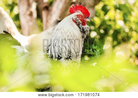 Proud rooster with high held head. Chicken with big red crest, white feathers on neck, curved beak, big red earrings and variegated coloration on green background