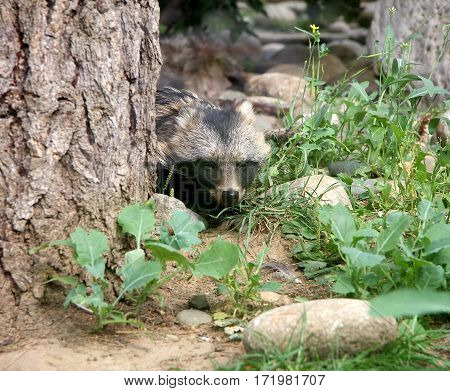 The raccoon dog looks out because of a tree