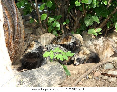 Raccoon dogs have a rest under a bush