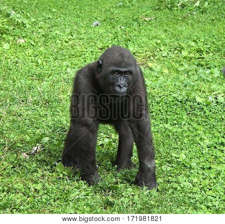 The cub of a gorilla costs on a lawn