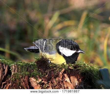 The titmouse sits on a stub overgrown with a moss
